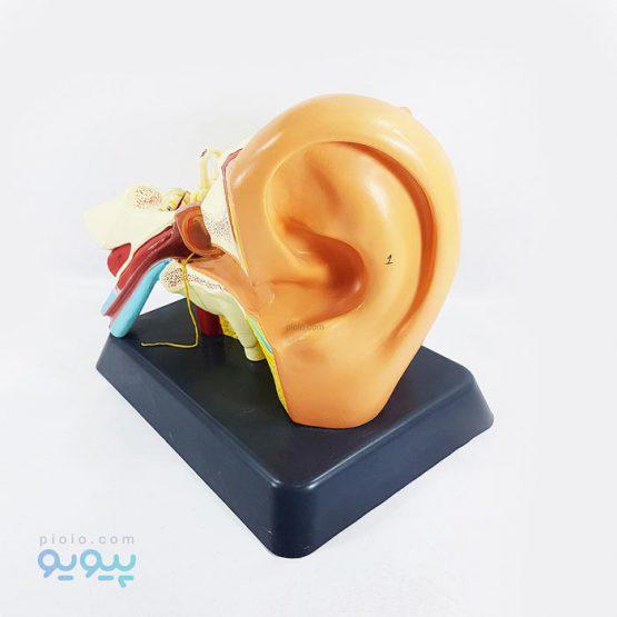 خرید مولاژ گوش انسان