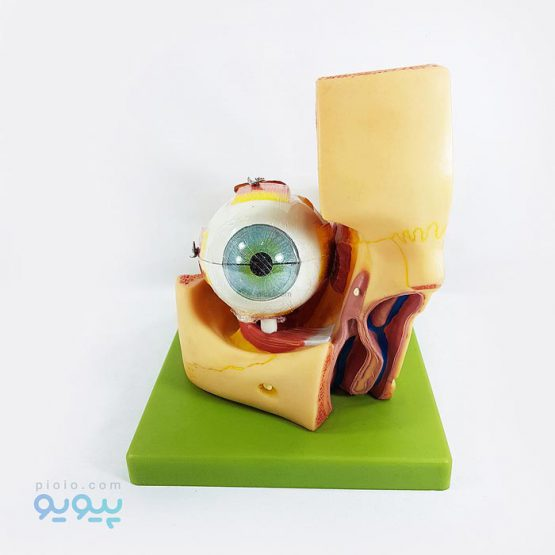 ماکت چشم