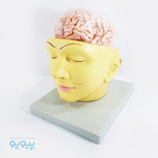 خرید مولاژ سر و مغز انسان